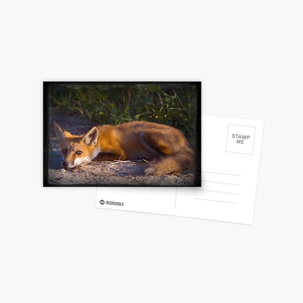 Red Fox Waiting and Watching Postcard