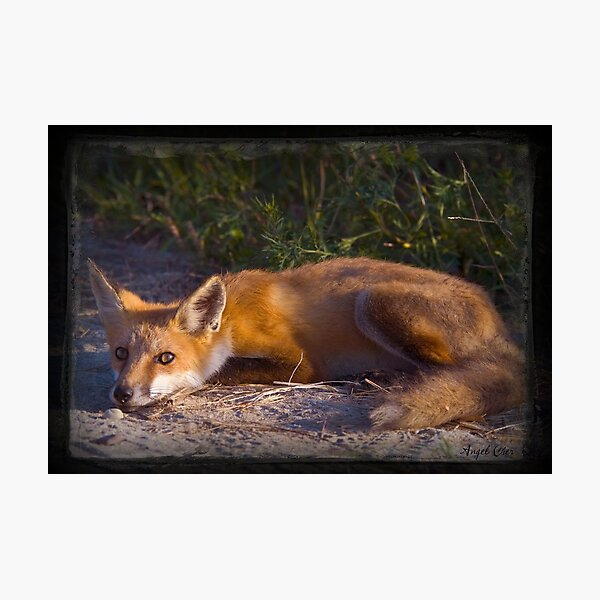 Red Fox Waiting and Watching Photographic Print