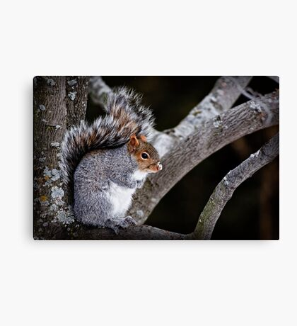 Grey Squirrel in Tree - Ottawa, Ontario Canvas Print