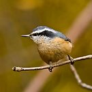 Red Breasted Nuthatch - Ottawa, Ontario by Michael Cummings