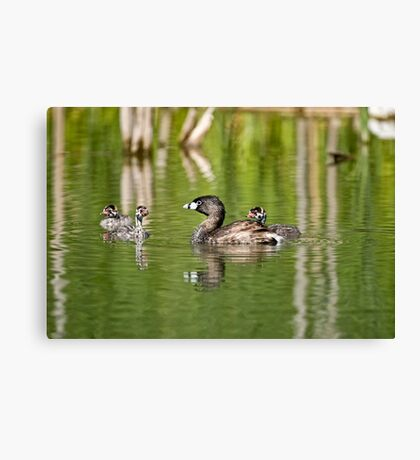 Pied Billed Grebe and Babies - Ottawa, Ontario Canvas Print