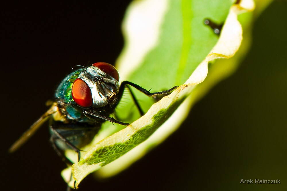 Portrait of a sleeping fly by Arek Rainczuk