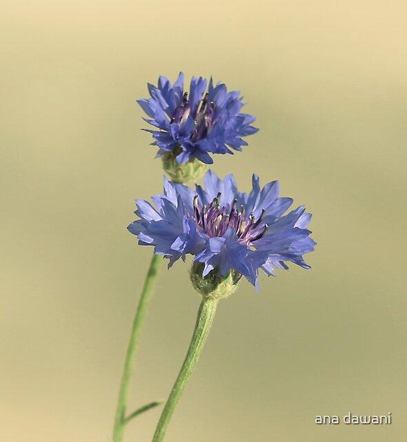 Cornflower by anadawani