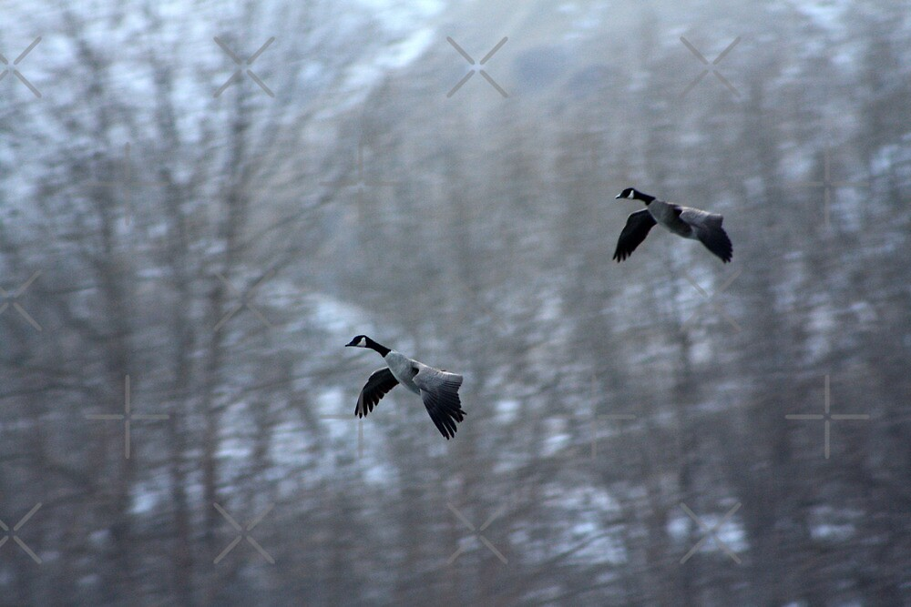Canadian Geese Landing by Alyce Taylor