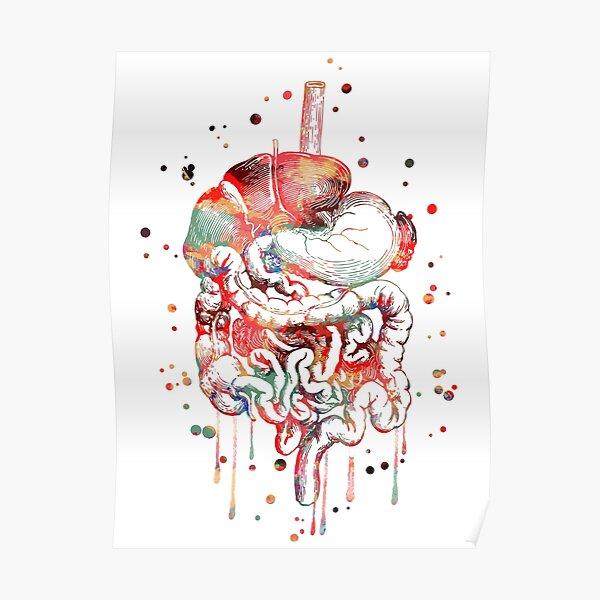 Digestive system, anatomy art, Human Organs Gastrointestinal Tract Poster