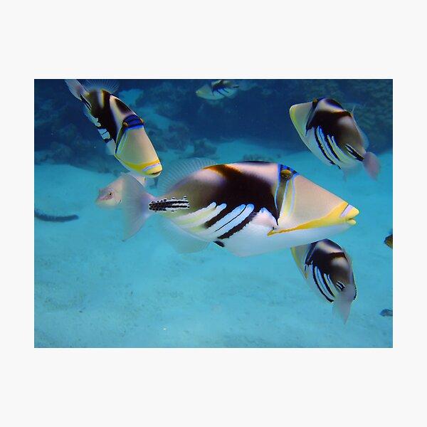 Picasso Triggerfish Photographic Print