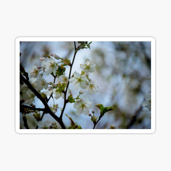 Pear Blossom Sticker