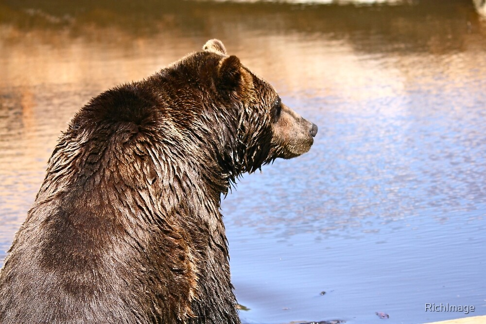 Grizzly Bear by RichImage
