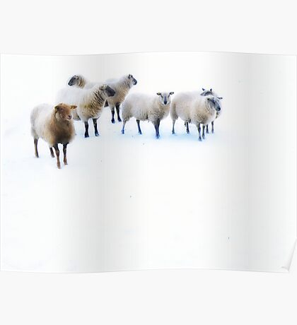 Ovis aries..... Poster
