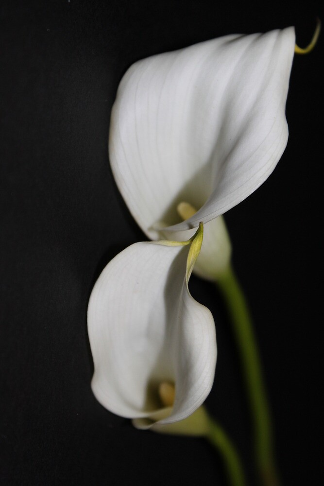 Cala Lillies by Lee-Anne Wilson