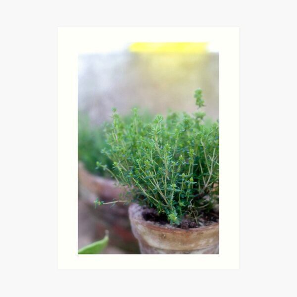 Thyme in a clay pot Art Print