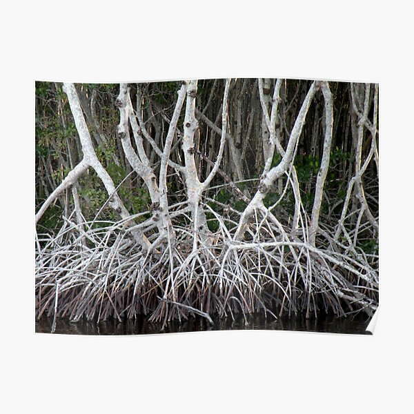 Mangrove Roots Poster