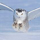 Snowy owl landing by Jim Cumming