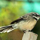 Grey Fantail - Gippsland, Victoria by Bev Pascoe