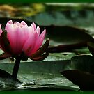 glowing lotus by LisaBeth