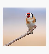 Goldfinch Photographic Print