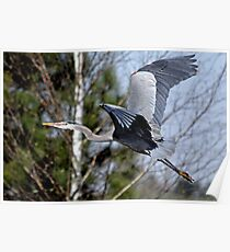 Off  Through the Trees the Great Blue Huron Flies Poster