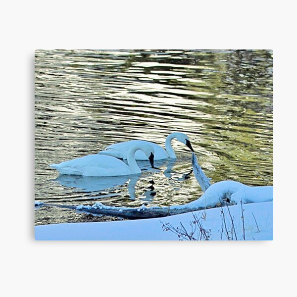 Swans in Yellowstone Canvas Print