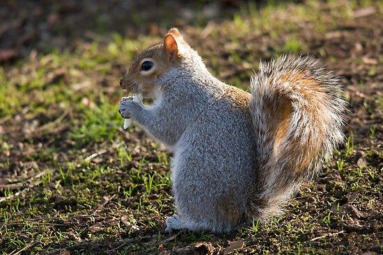 pesky crocus eating tree rat aka grey squirrel posters