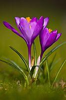 Purple Crocus by Gabor Pozsgai