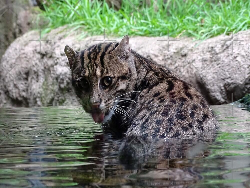 Fishing Cat by Steven Guy