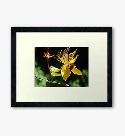 St Johns Wart - Lamington National Park  Framed Print