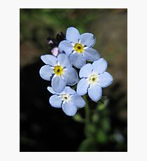 Forget-Me-not Flower Photographic Print