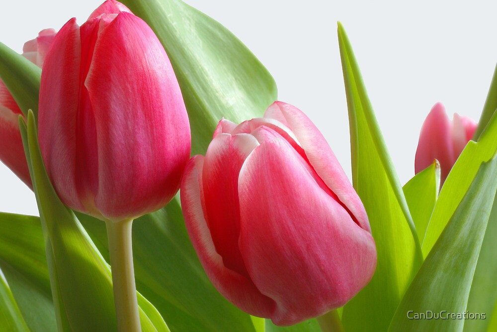 Tulips from Holland by CanDuCreations