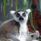 Ring Tailed Lemur by Steven Guy