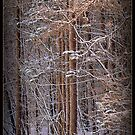 On Golden Pines by Deb  Badt-Covell