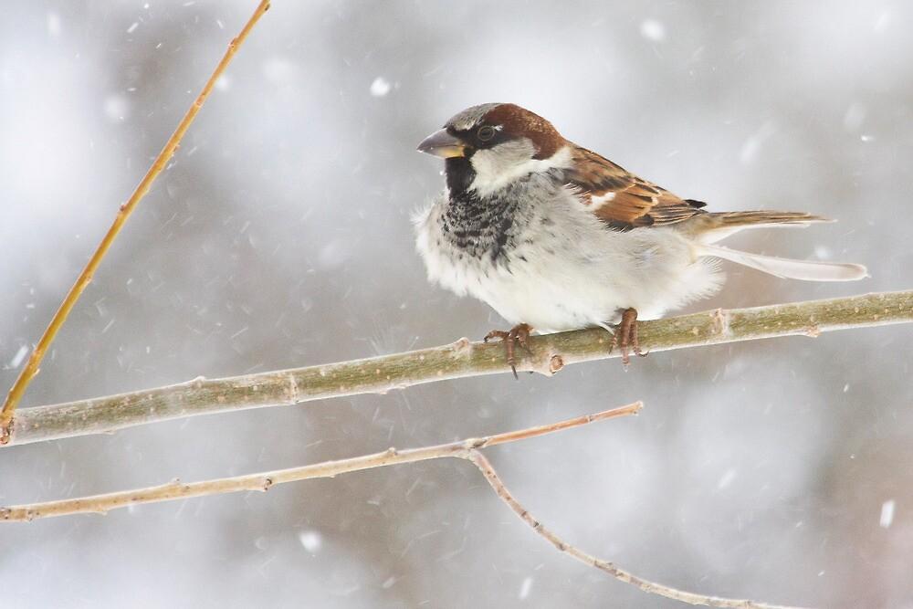 Snowy Sparrow by Kim Barton