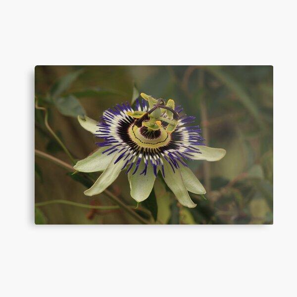Pristine passion flower showing stamen & pistil Metal Print