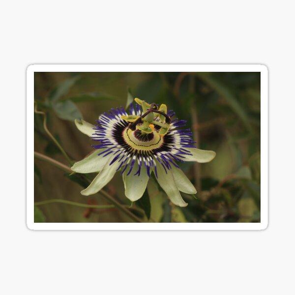 Pristine passion flower showing stamen & pistil Sticker