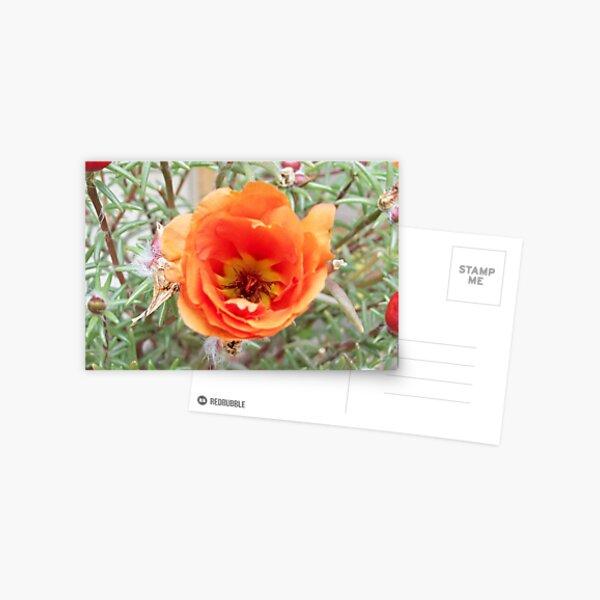 Moss Rose (Portulaca Grandiflora) in bloom Postcard