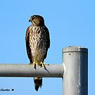 Juvenile Cooper's Hawk by Bunny Clarke