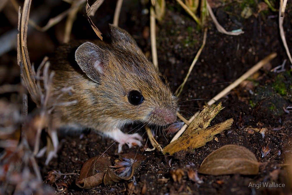 Field mouse by Angi Wallace