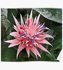 Pink & Purple Bromeliad Flower Poster