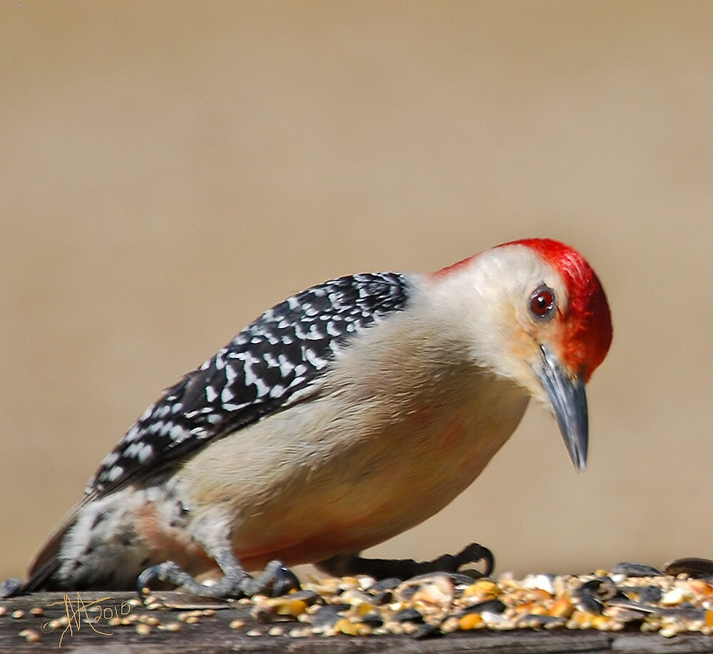 Male Redbellied Woodpecker by Pat Moore