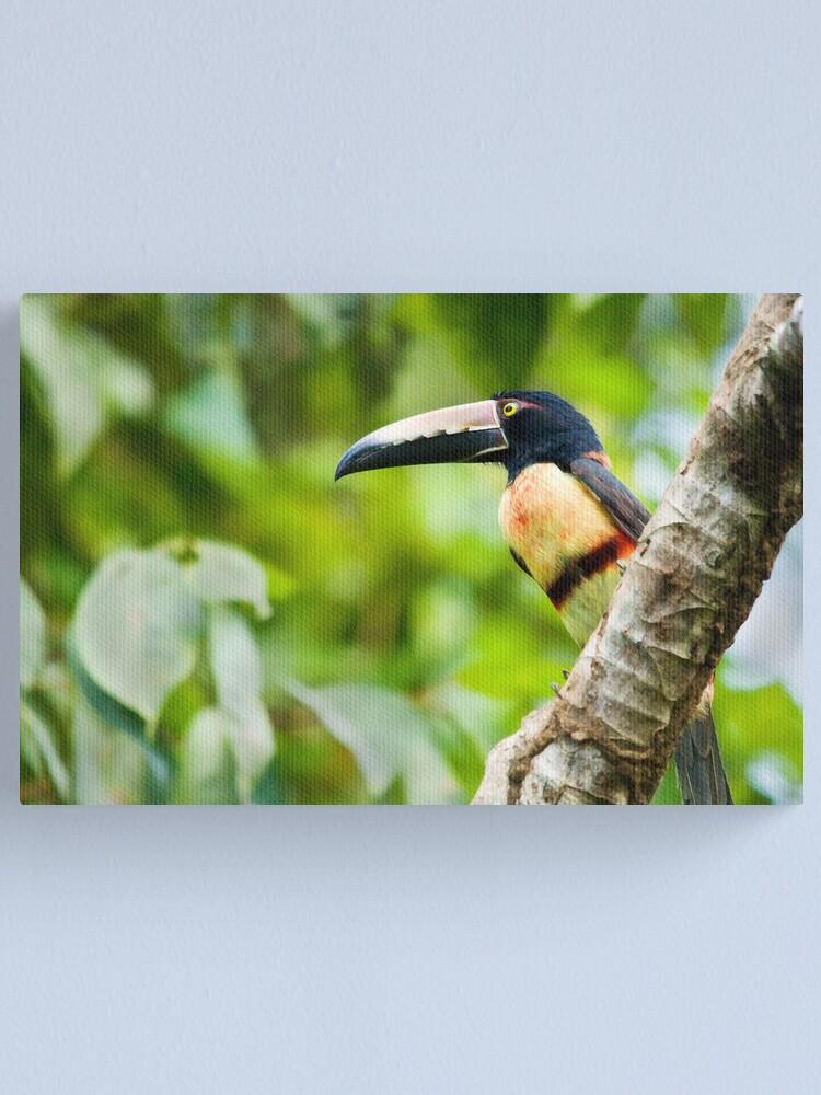 Alternate view of Collared Aracari Toucan Canvas Print