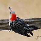 Female Rebellied Woodpecker by Pat Moore