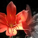 Sweet Lily by David Smith