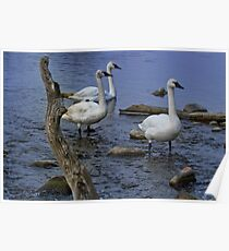 """Three Piece Band - """"Trumpeter"""" Swans Poster"""