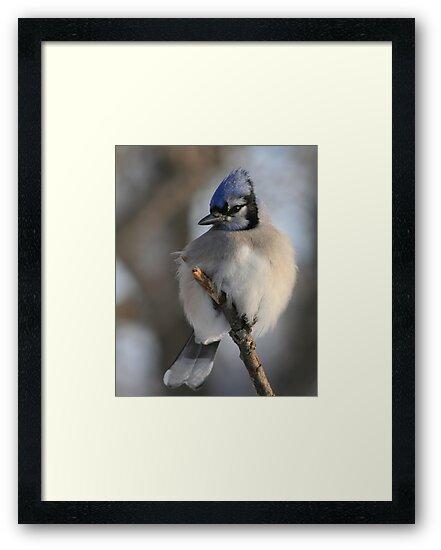 Bleu Jay (Alberta Canada) by whisperjo