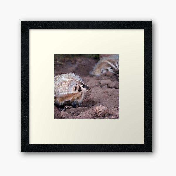 American badger -  Bear Country USA Framed Art Print