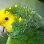 Yellow Headed Amazon Parrot by richardbryce