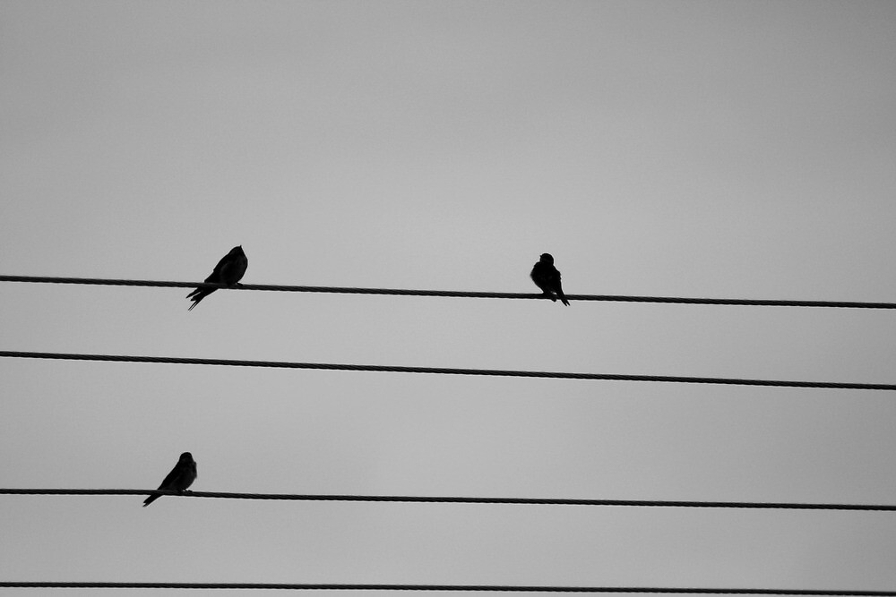 birds on a wire by benjinot