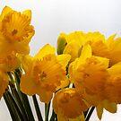 Daffodils by vannaweb