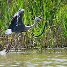 A heron flies off with a snake, Oasi WWF Lago di Alviano, Umbria, Italy by Andrew Jones