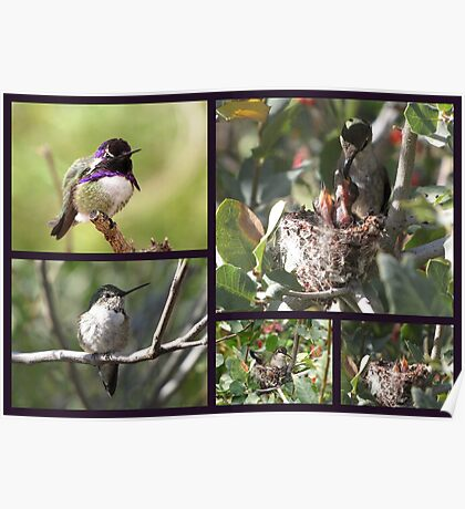 Costa's Hummingbird ~ Family Portrait Poster