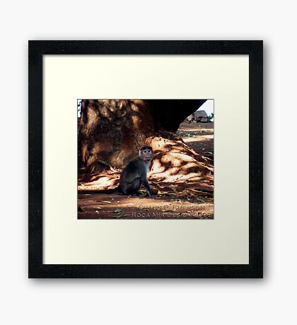 Indian Monkey Framed Print
